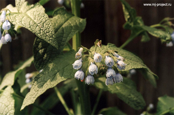 Голубой цветочек