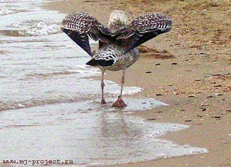Чайка крылья расправляет, вид сзади
