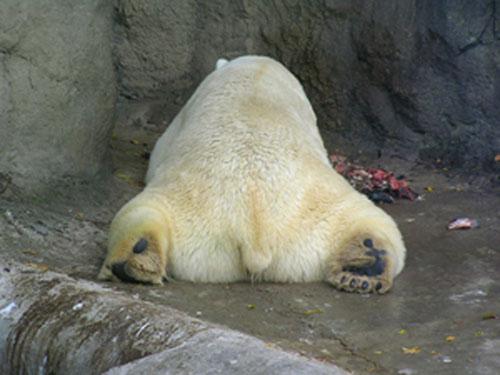 Медведь хавает