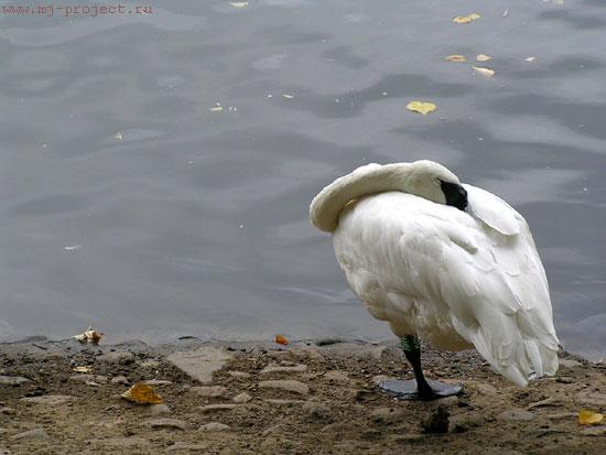 Одинокий лебедь