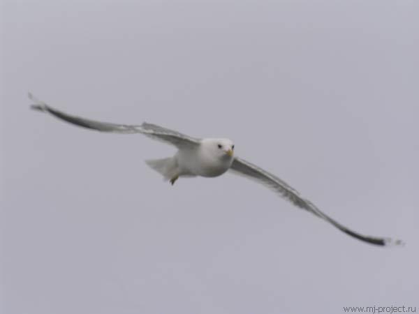 Чайка (2)