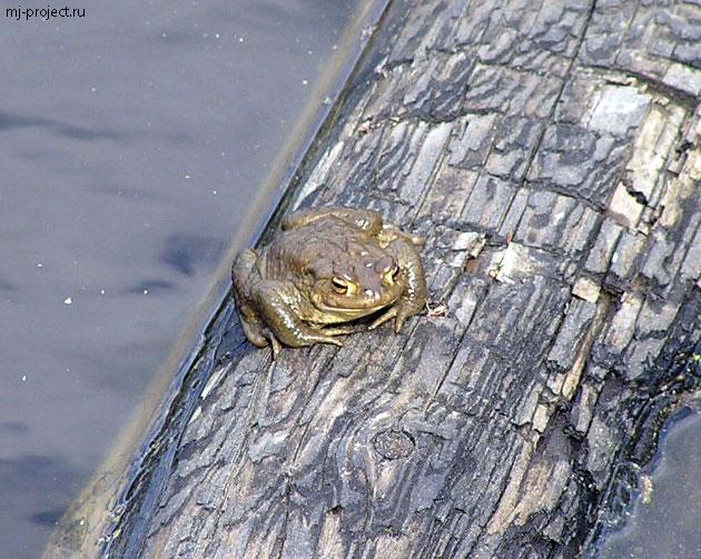 Лягушка в Светлом озере
