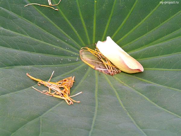 Высохшие пестики и роса в лотосовом листе